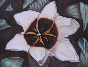 Star Magnolia - 11 x 14, Click on image for price and to purchase